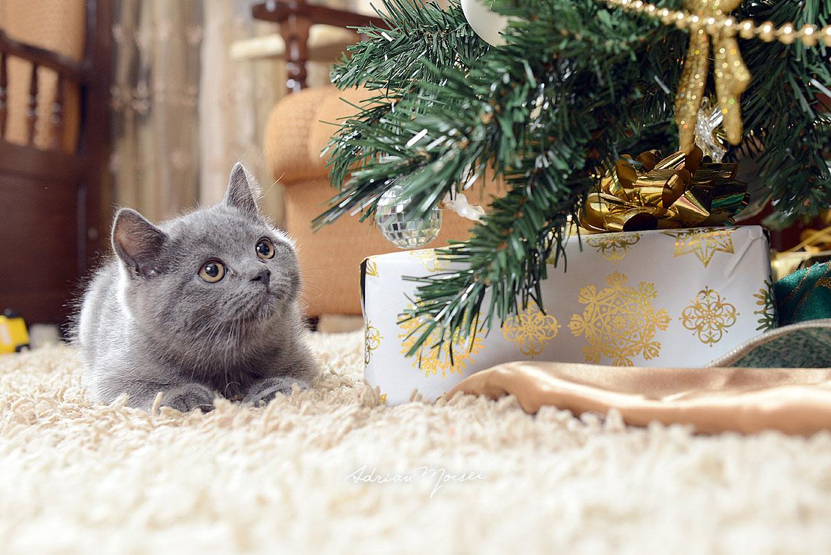 Pui de pisica albastru de Rusia, langa pom, fotograf Iasi