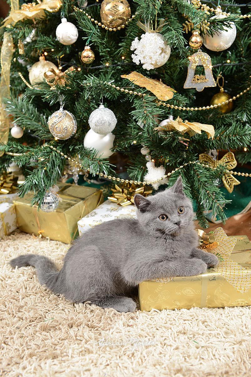 Pisicuta pe cadou, langa pom, fotografie de familie