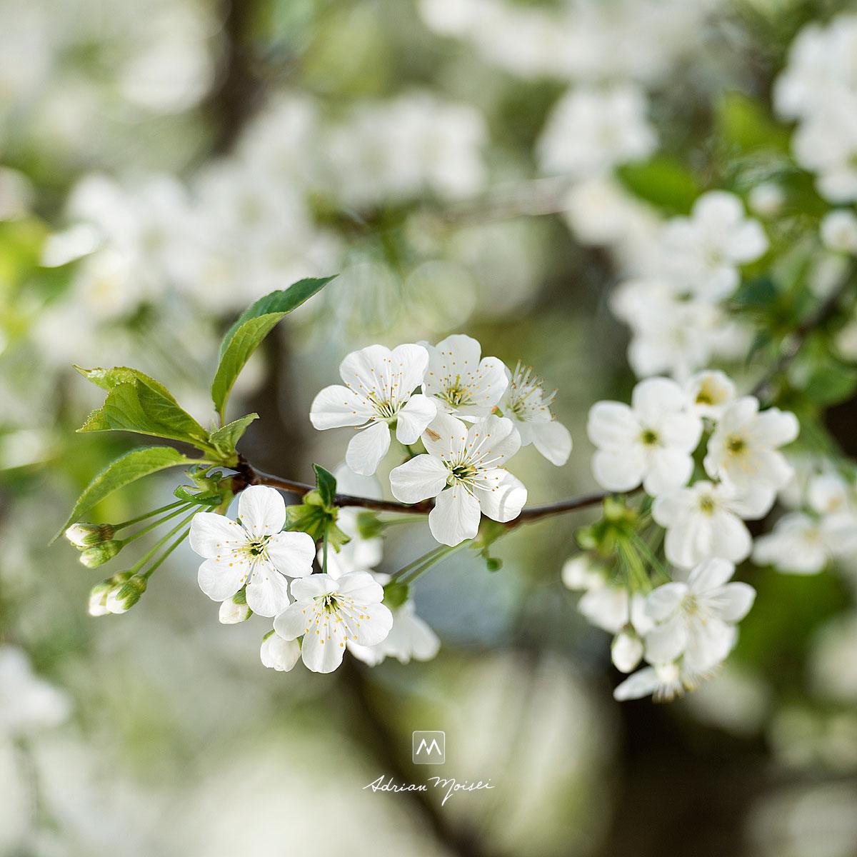 Fotografie cu flori de visin
